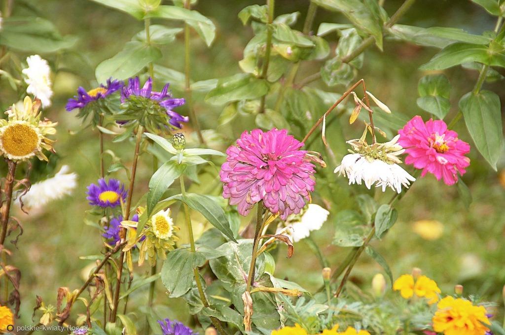 Jesienne Kwiaty Related Keywords & Suggestions - Jesienne Kwiaty Long ...