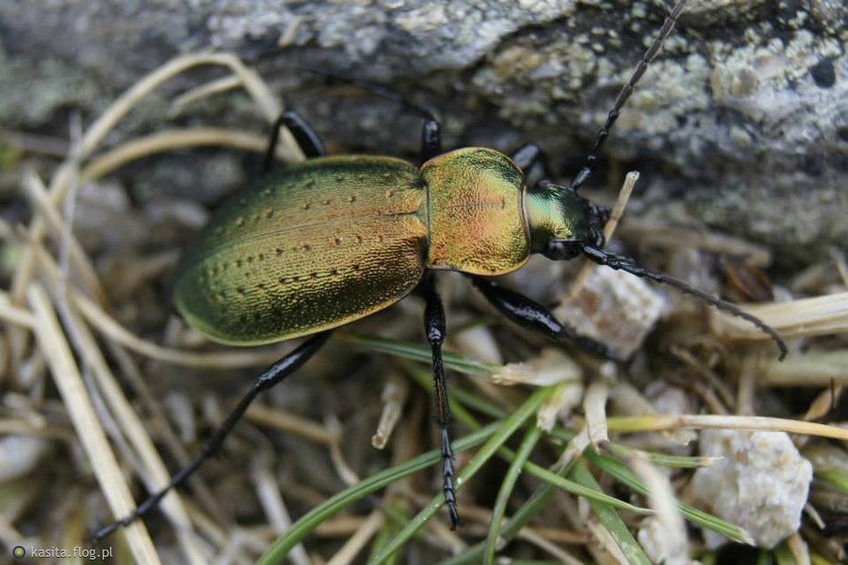 Biegacz dołkowany (Carabus irregularis)