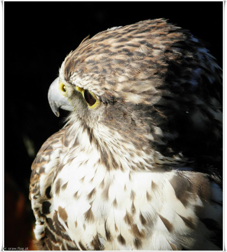 Groźny łowca, Falco Raróg, ma niejeden dziki narów …....