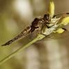 Ważka czteroplama -Libel<br />lula quadrimaculata 2 ::