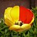 Żółto - czerwony tulipan  :: Żółto - czerwony tulipan